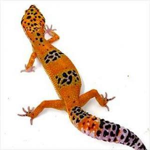 tangerine leopard gecko for sale
