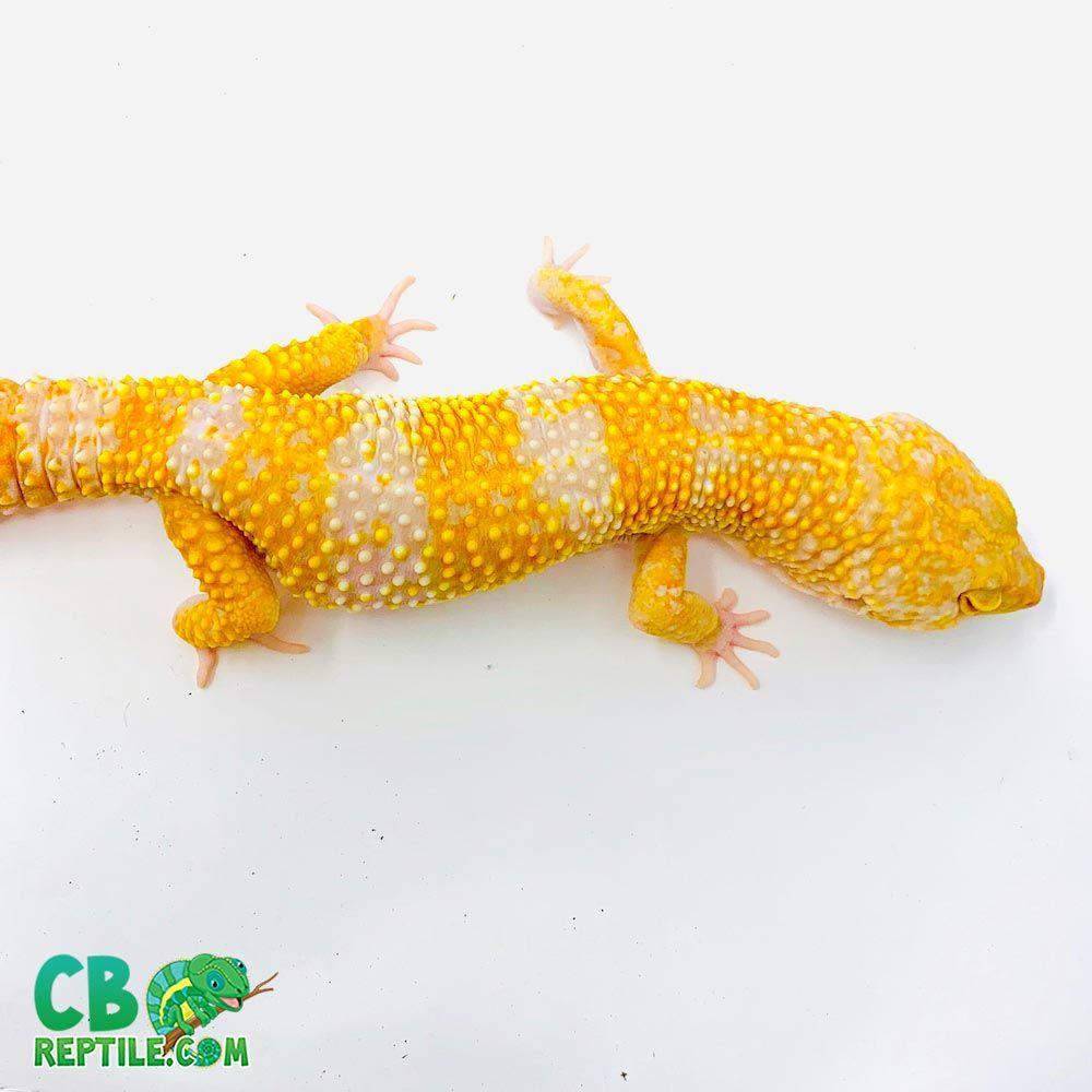 Tangerine Albino Supergiant Leopard Gecko For Sale Baby Tremper Albino