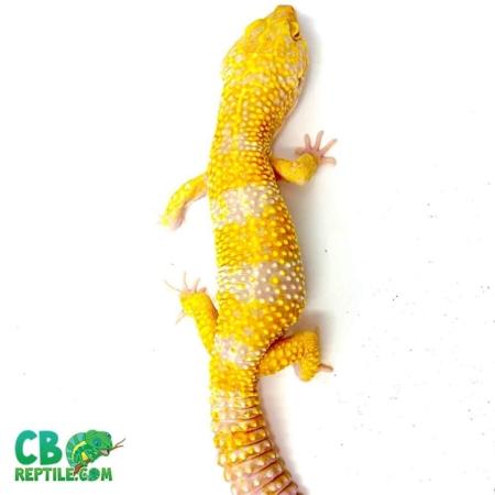tremper albino supergiant leopard gecko