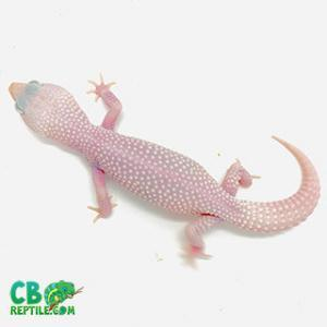 baby leopard gecko for sale