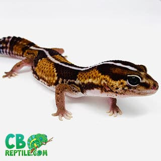 fat tail gecko for sale