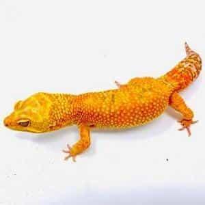 baby leopard gecko