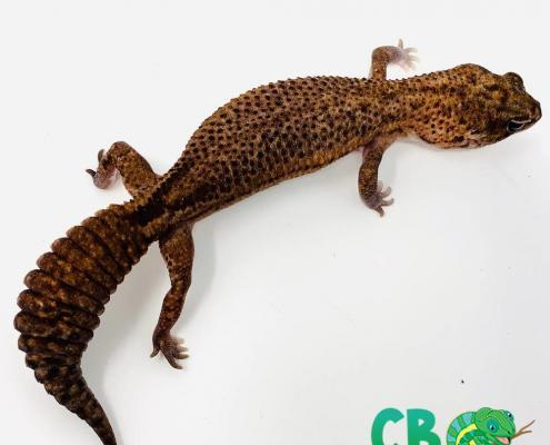 patternless African fat tailed gecko