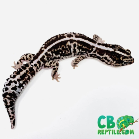 striped white out fat tail gecko for sale