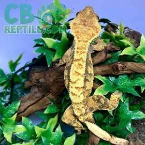 tiger striped crested gecko