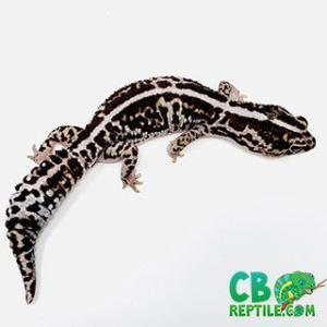 fat tailed gecko morphs for sale