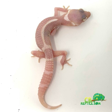 Albino black night leopard gecko for sale