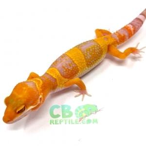 albino inferno leopard gecko