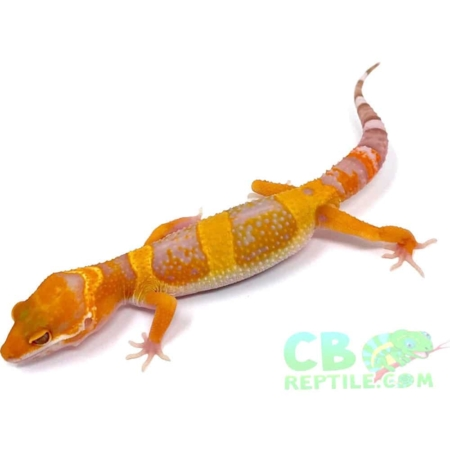 Tangerine leopard geckos for sale where to buy baby