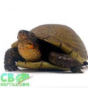 box turtle for sale near me