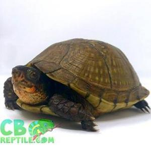 box turtles for sale near me