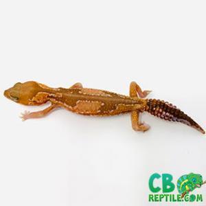 fat tail gecko habitat