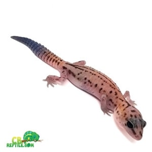 fat tail gecko morphs