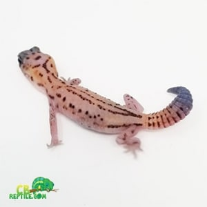 patternless whiteout fat tail gecko