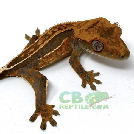 crested geckos for sale