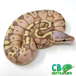 baby ball python for sale