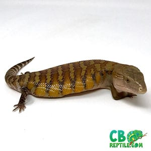 baby Northern Blue tongue skink