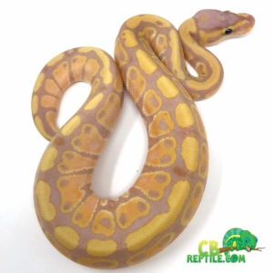 ball python heat