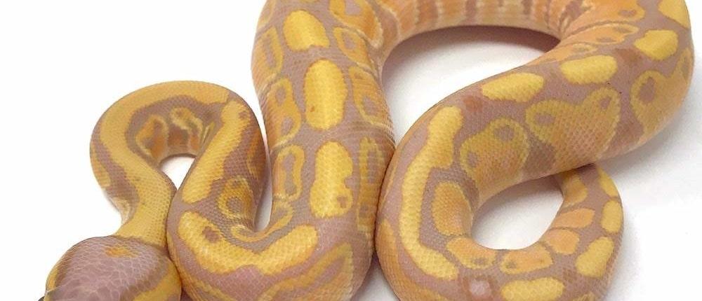 ball python lighting