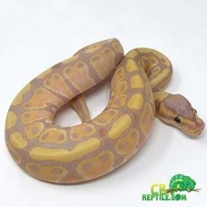 ball python temp