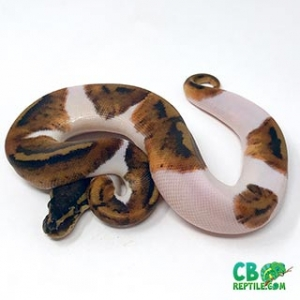 ball pythons for sale near me