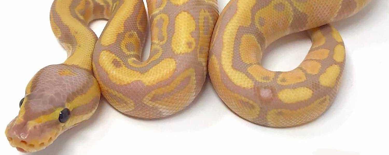 Banana Ball Python morphs | CB Reptile | Geckos for sale