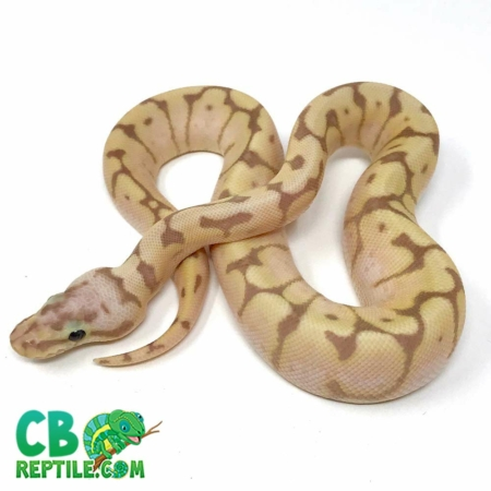 banana bee het pied ball python