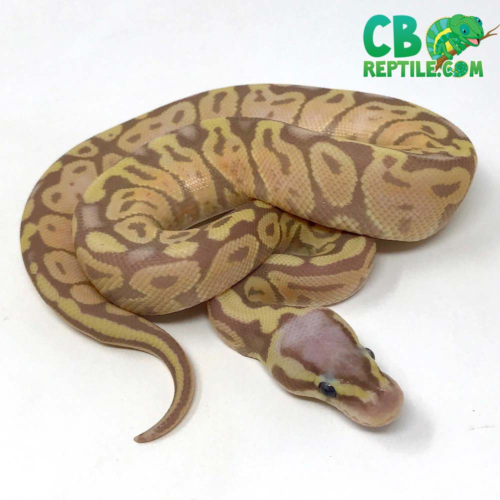 Banana Firefly Ball Python for sale BANFire1