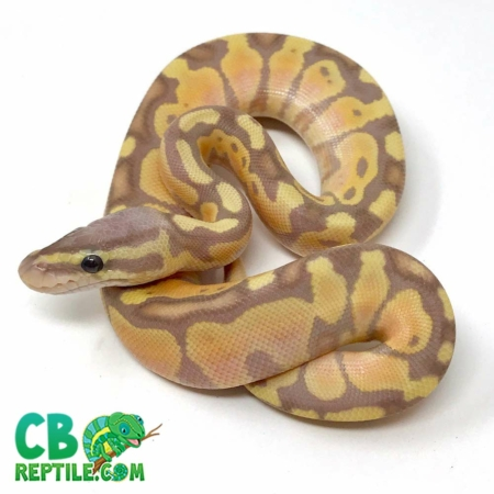 banana pastel ball python for sale