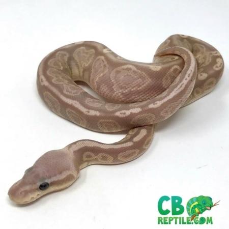 banana pewter ball python