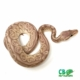 banana pewter ball python for sale