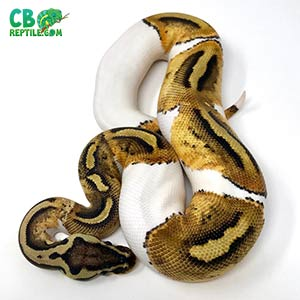 best ball python breeders