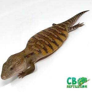northern blue tongue skinks for sale