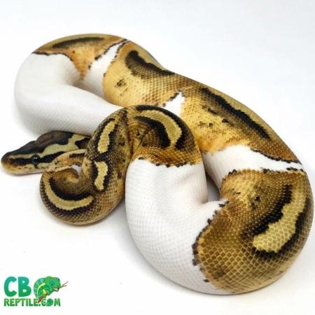 pastel pied ball python