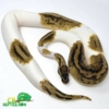 pastel pied ball python for sale