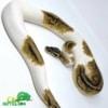 pastel piebald python