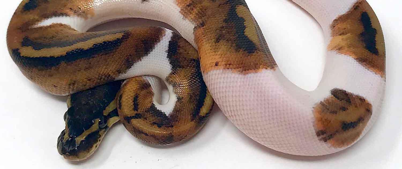 pied ball python morphs