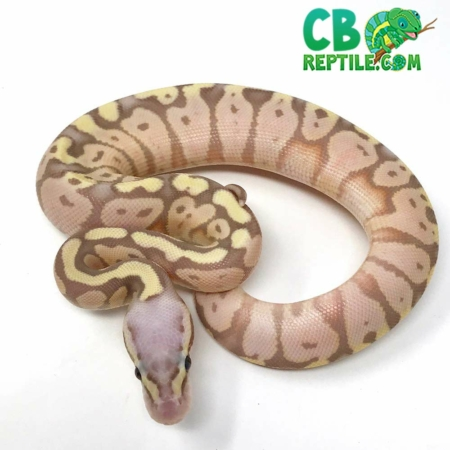 super pastel banana ball python for sale