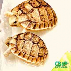 tortoise hatchlings for sale