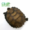 Burmese black mountain tortoises for sale