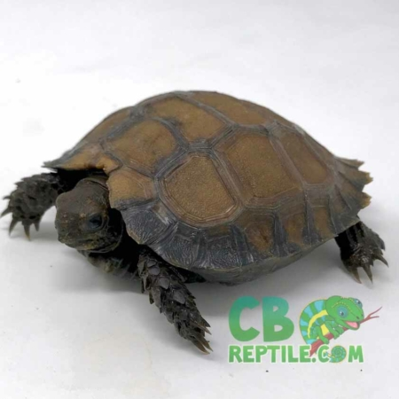 Burmese black mountain tortoise