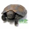 Burmese black tortoise