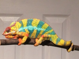 panther chameleon caging