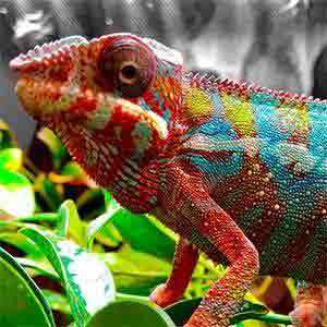 panther chameleon diet