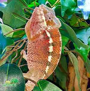 panther chameleon feeding