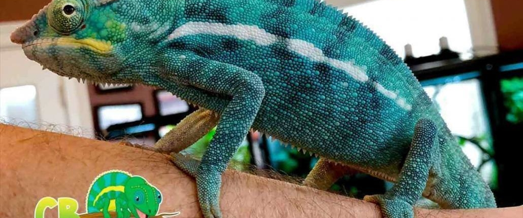 panther chameleon habitat