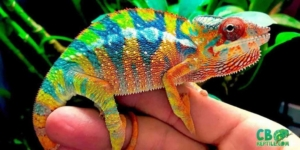 panther chameleon housing