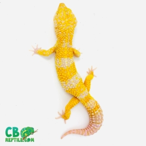 giant leopard gecko for sale