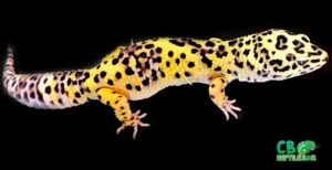 giant leopard geckos for sale