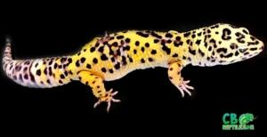 giant leopard geckos for sale